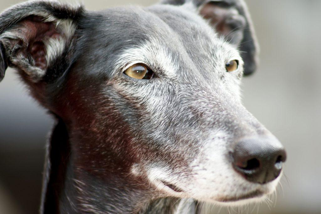 Jachtprikkel probleem bij adoptiehonden